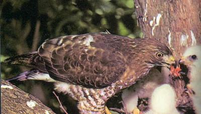 broadtailhawk